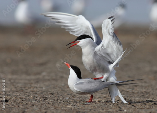Poster Common tern