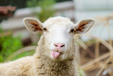 Funny sheep. Portrait of sheep showing tongue. - 133216088