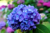 fleur,hortensia,hydrangea,bleu,bretagne,pétalvert,horticulture,jardin,nature,culture,pépinière,jardinerie,pot,