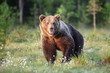 The brown bear (Ursus arctos), a large male in the Finnish taiga