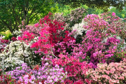 Fotobehang Azalea Bunte Azaleen im Garten im Frühling