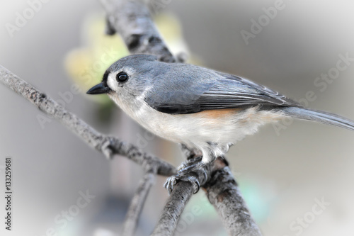 tufted titmouse sitting on a branch Poster