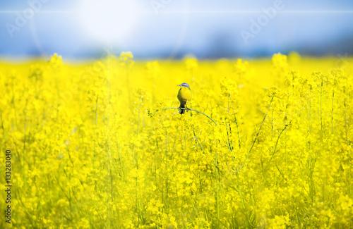 Leinwandbild Motiv eine Schafstelze sitzt bei Sonnenschein in einem blühenden Rapsfeld