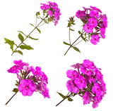 blooming phlox isolated on white background