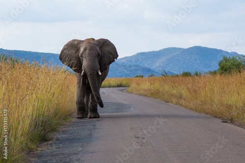 Poster Elephant on Road