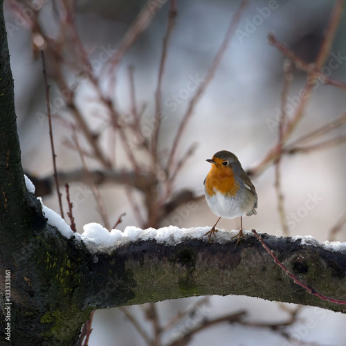 Poster robin bird in the snow. Piedmont, Italy