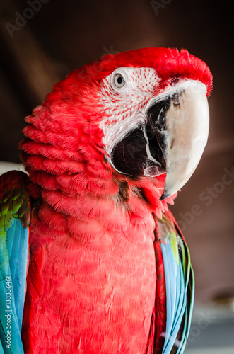 Poster Red Parrot Macaw