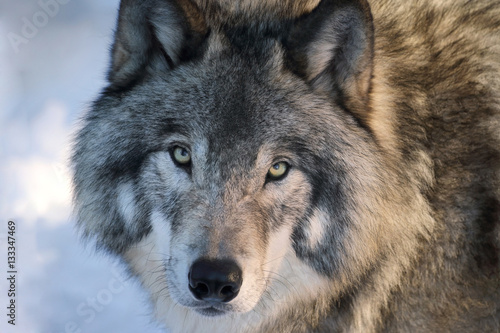Aluminium Wolf loup en hiver