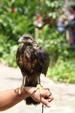 uccello rapace su braccio falconiere