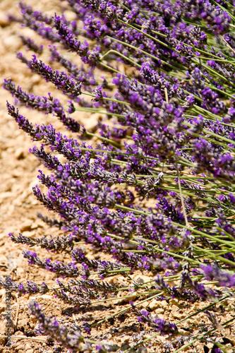 Poster Lavender field