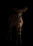nyala standing in the dark