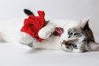 White fluffy blue-eyed cat in a stylish bow tie lying and holding a red rose in arms. Silk red bow tie with a pattern