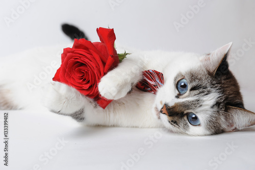 Poster White fluffy blue-eyed cat in a stylish bow tie lying and holding a red rose in arms