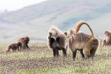 Babbuidi Gelada sui monti Simien in Etiopia