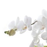 Fototapety Weiße Orchidee isoliert