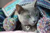 Russian Blue Cat in the blanket