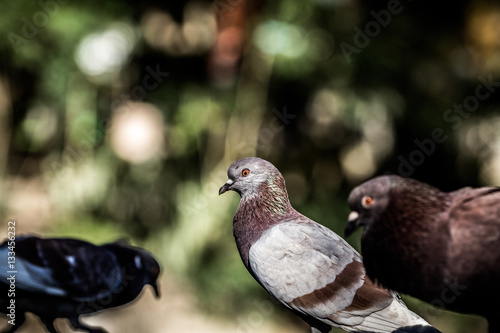 Poster Picturesque and cute pigeon with artistic blurred background