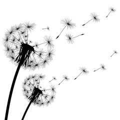 black silhouette of a dandelion on  white background