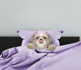 Shitzu sleeping dog