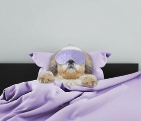 Adorable sleeping shitzu dog