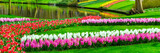 Fototapety Colorful tulips and hyacinth flowerbeds in Keukenhof spring garden, Holland