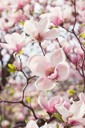 Fototapeta Flowers of magnolia tree in springtime