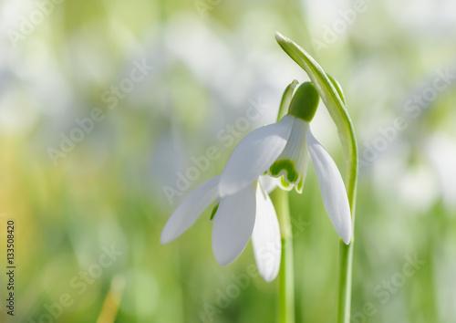 Fototapeta Spring snowdrop