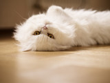 White kitty relaxing indoors