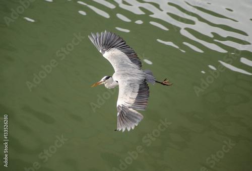 Poster Heron bird