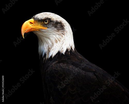 Portrait of a Bald Eagle isolated on black background. - 133526610