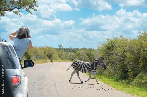 Poster Safari in Africa, woman making zebra photo from car, travel in Kenya, savannah w