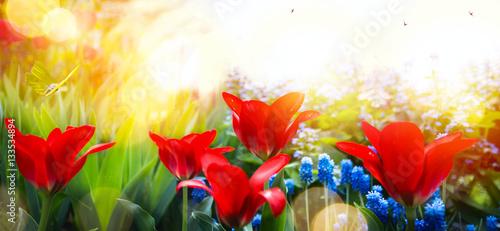 Foto op Canvas Klaprozen spring floral background; fresh tulip flower on sky background