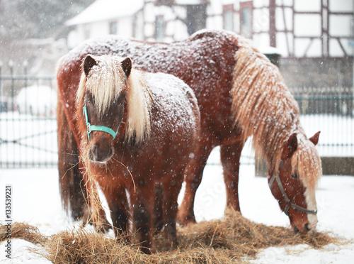 Pferde im Schnee auf dem Hof
