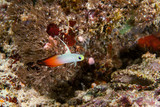Firegoby fish close-up. Sipadan island. Celebes sea. Malaysia.