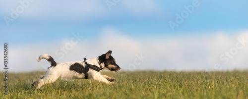 Hund rennt über die Wiese - Jack Russell Terrier 4 Monate alt - 133542680