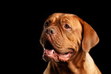 Close-up Portrait dog of breed Dogue de Bordeaux with opened mouth and looks smile isolated on black background, front view