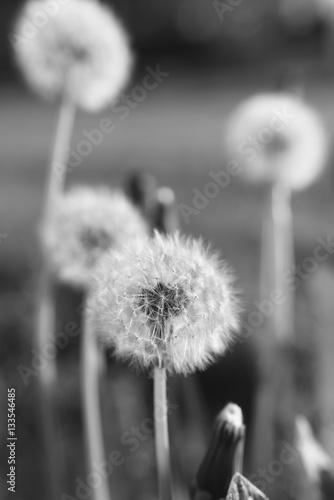 blooming dandelions - 133546485