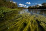 Many green algae in the river. Polar Urals. Russia.