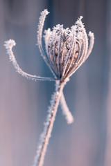 Winterliche Blüte mit Raureif