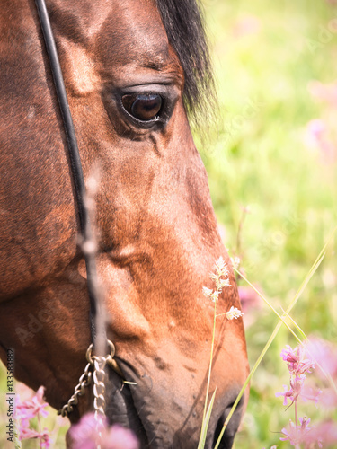 Poster portrait of grazing bay horse. close up