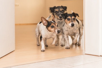 Dog race in the apartment through a open door - jack russell terrier