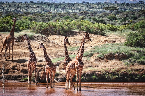 Poster Giraffes in River