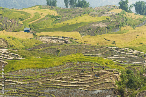 Fotobehang Vietnamese rice terraced paddy field in harvesting season. Terraced paddy fields are used widely in rice, wheat and barley farming in east, south, and southeast Asia