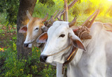 Two asian oxen close-up