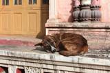 Homeless dog sleeping at the door of a Buddhist monastery