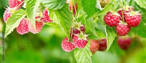 branch of ripe raspberries in a garden - 133611484