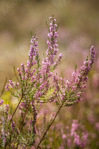 Beautiful  purple calluna flowers on a natural background in summer - 133623677