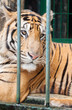 Постер, плакат: tiger relaxing in a breeding cage healthy tiger protect from extinction