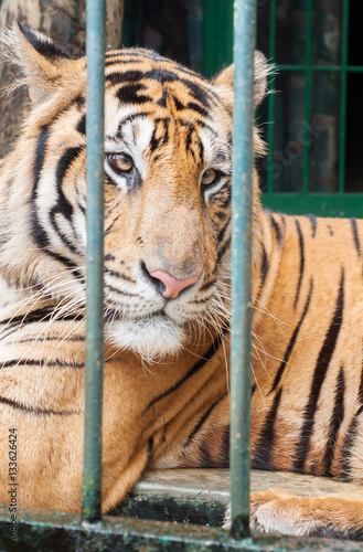 Poster tiger relaxing in a breeding cage