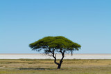 Solitary, trees, savanna, Namibia, Africa
